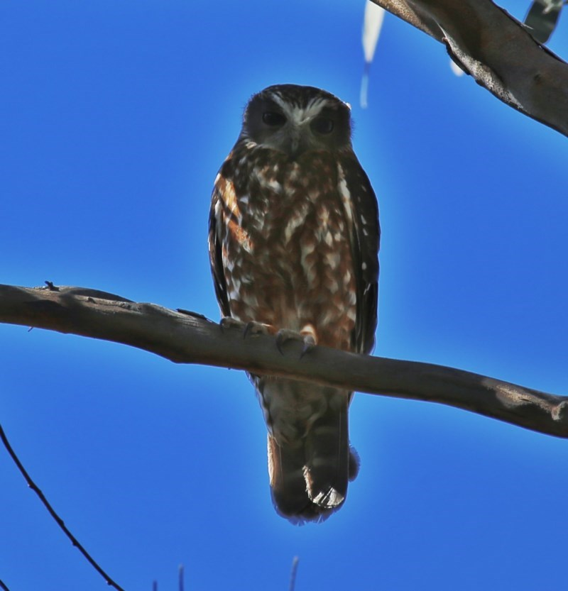 Ninox boobook at Wandiyali-Environa Conservation Area - 3 Oct 2014
