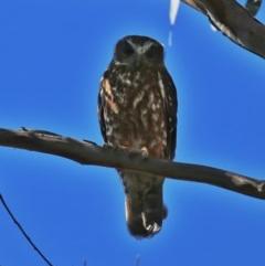 Ninox boobook (Southern Boobook) at Wandiyali-Environa Conservation Area - 3 Oct 2014 by Wandiyali