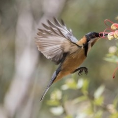 Acanthorhynchus tenuirostris (Eastern Spinebill) at ANBG - 1 Oct 2017 by Alison Milton