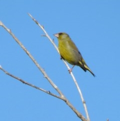 Chloris chloris (Common Greenfinch) at Jerrabomberra Wetlands - 1 Oct 2017 by YellowButton