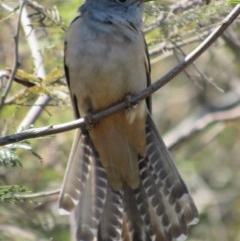 Cacomantis variolosus (Brush Cuckoo) at Googong Foreshore - 30 Sep 2017 by YellowButton