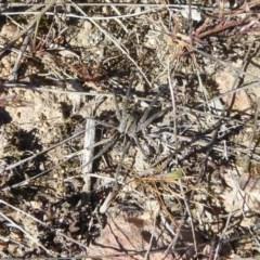 Tasmanicosa sp. (genus) (Unidentified Tasmanicosa wolf spider) at Stromlo, ACT - 1 Oct 2017 by Christine