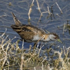 Zapornia pusilla (Baillon's Crake) at Jerrabomberra Wetlands - 2 Oct 2017 by Alison Milton