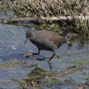 Zapornia tabuensis at Jerrabomberra Wetlands - 3 Oct 2017
