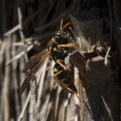 Polistes (Polistes) chinensis (Asian paper wasp) at Jerrabomberra Wetlands - 2 Oct 2017 by Alison Milton