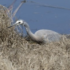 Egretta novaehollandiae (White-faced Heron) at Jerrabomberra Wetlands - 2 Oct 2017 by Alison Milton