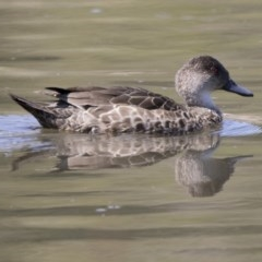 Anas gracilis (Grey Teal) at Jerrabomberra Wetlands - 3 Oct 2017 by Alison Milton