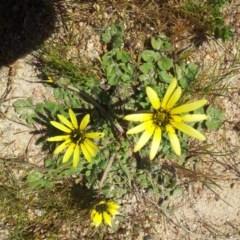 Arctotheca calendula (Capeweed, Cape Dandelion) at Kambah, ACT - 4 Oct 2017 by RosemaryRoth
