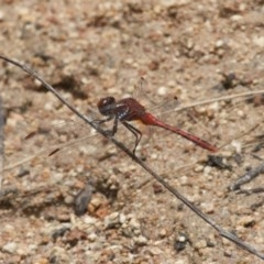 Diplacodes bipunctata (Wandering Percher) at Illilanga & Baroona - 26 Dec 2010 by Illilanga