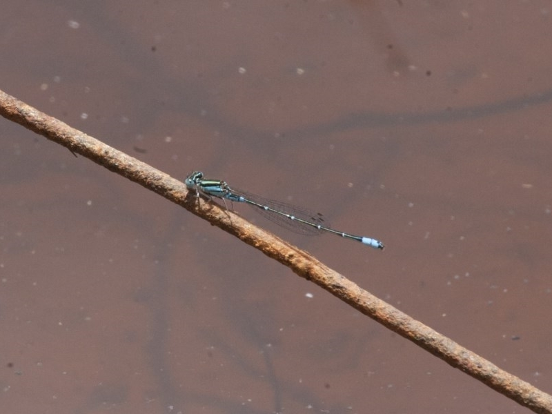 Austroagrion watsoni at Illilanga & Baroona - 26 Dec 2010