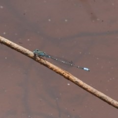 Austroagrion watsoni (Eastern Billabongfly) at Illilanga & Baroona - 26 Dec 2010 by Illilanga