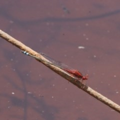 Xanthagrion erythroneurum (Red & Blue Damsel) at Illilanga & Baroona - 26 Dec 2010 by Illilanga
