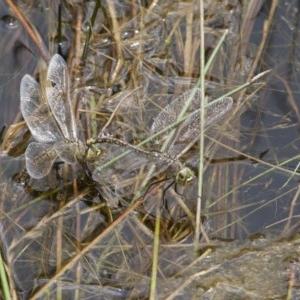 Anax papuensis at Illilanga & Baroona - 26 Dec 2010