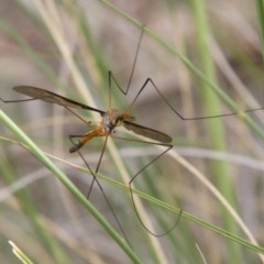 Leptotarsus (Leptotarsus) sp.(genus) (A Crane Fly) at Illilanga & Baroona - 26 Oct 2014 by Illilanga