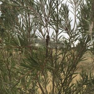 Anax papuensis at Michelago, NSW - 8 Feb 2017