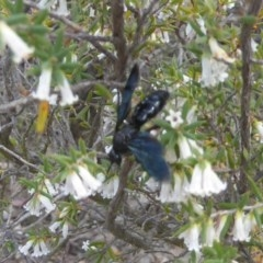 Austroscolia soror (Blue-winged flower wasp) at Piney Ridge - 4 Oct 2017 by Christine