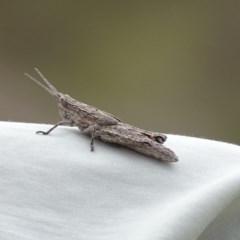 Coryphistes ruricola (Bark grasshopper) at Gilmore, ACT - 5 Oct 2017 by roymcd