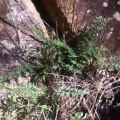 Cheilanthes sieberi (Rock fern) at Mount Ainslie - 21 May 2017 by W