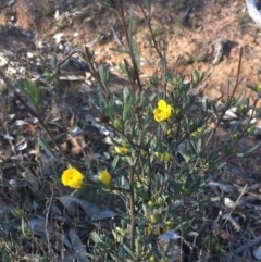 Hibbertia obtusifolia (Grey Guinea-flower) at Mount Ainslie - 7 Oct 2017 by W