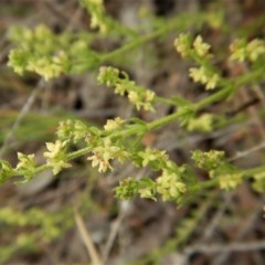 Galium gaudichaudii subsp. gaudichaudii (Rough bedstraw) at Mount Painter - 6 Oct 2017 by CathB