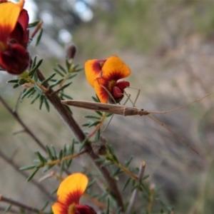 Mutusca brevicornis at Aranda Bushland - 5 Oct 2017