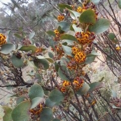 Daviesia latifolia (Hop Bitter-pea) at Collector, NSW - 7 Oct 2017 by Maartje Sevenster