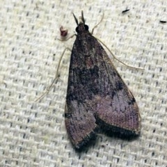 Uresiphita ornithopteralis (Tree Lucerne Moth) at O'Connor, ACT - 7 Oct 2017 by ibaird