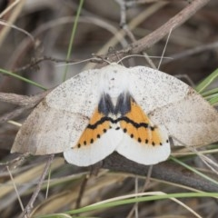 Gastrophora henricaria (Fallen-bark Looper, Beautiful Leaf Moth) at Black Mountain - 8 Oct 2017 by Alison Milton