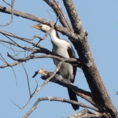 Microcarbo melanoleucos (Little Pied Cormorant) at Molonglo River Park - 3 Oct 2017 by michaelb