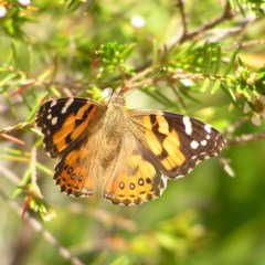 Vanessa kershawi (Australian Painted Lady) at ANBG - 11 Oct 2017 by MatthewFrawley