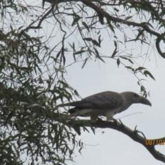 Scythrops novaehollandiae (Channel-billed Cuckoo) at Wolumla, NSW - 8 Oct 2017 by PatriciaDaly
