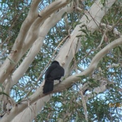 Corcorax melanorhamphos (White-winged Chough) at Wolumla, NSW - 9 Oct 2017 by PatriciaDaly
