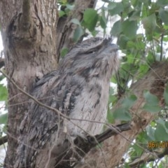Podargus strigoides (Tawny Frogmouth) at Wolumla, NSW - 6 Oct 2017 by PatriciaDaly