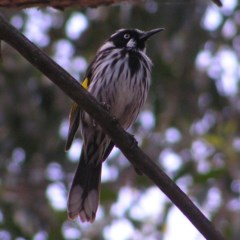 Phylidonyris novaehollandiae (New Holland Honeyeater) at ANBG - 11 Oct 2017 by MatthewFrawley