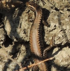 Eulamprus heatwolei (Yellow-bellied Water-skink) at Molonglo River Park - 3 Oct 2017 by michaelb
