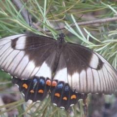 Papilio aegeus (Orchard Swallowtail) at ANBG - 22 Feb 2017 by Christine
