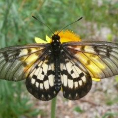 Acraea andromacha (Glasswing) at ANBG - 5 Mar 2011 by Christine