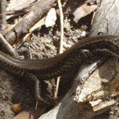 Eulamprus heatwolei (Yellow-bellied Water-skink) at Tidbinbilla Nature Reserve - 4 Mar 2017 by Christine