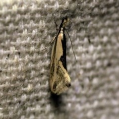 Thema macroscia (A concealer moth) at O'Connor, ACT - 10 Oct 2017 by ibaird