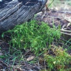 Stellaria pungens (Prickly Starwort) at Conder, ACT - 8 Jun 2000 by michaelb