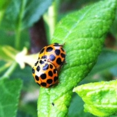 Harmonia conformis (Common Spotted Ladybird) at Hughes, ACT - 13 Oct 2017 by ruthkerruish