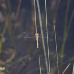 Diplacodes bipunctata (Wandering Percher) at Illilanga & Baroona - 23 Jan 2015 by Illilanga