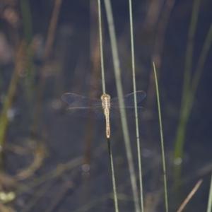 Diplacodes bipunctata at Michelago, NSW - 23 Jan 2015