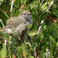 Acanthiza pusilla (Brown Thornbill) at Mogo State Forest - 11 Oct 2017 by roymcd