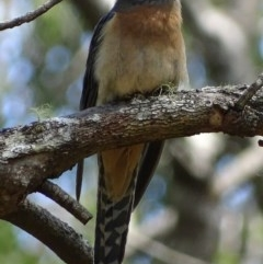 Cacomantis flabelliformis (Fan-tailed Cuckoo) at Mogo State Forest - 11 Oct 2017 by roymcd