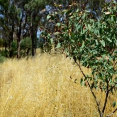 Avena sp. (Wild Oats) at Hughes Garran Woodland - 26 Dec 2012 by ruthkerruish