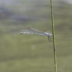 Austrolestes annulosus (Blue Ringtail) at Illilanga & Baroona - 23 Jan 2015 by Illilanga
