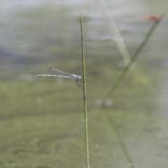 Austrolestes annulosus at Michelago, NSW - 23 Jan 2015