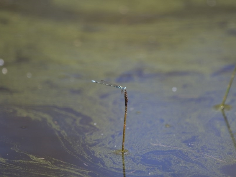 Austroagrion watsoni at Illilanga & Baroona - 23 Jan 2015