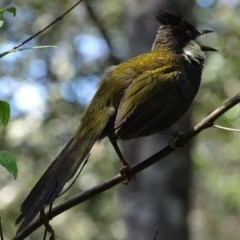 Psophodes olivaceus (Eastern Whipbird) at Mogo State Forest - 11 Oct 2017 by roymcd